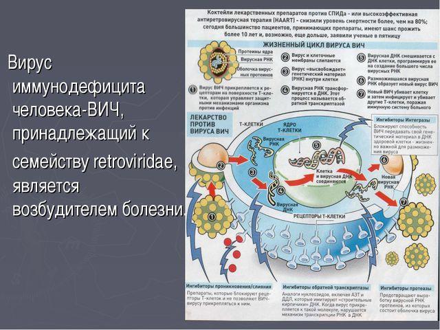 Вирус иммунодефицита человека-ВИЧ, принадлежащий к семейству retroviridae, я...