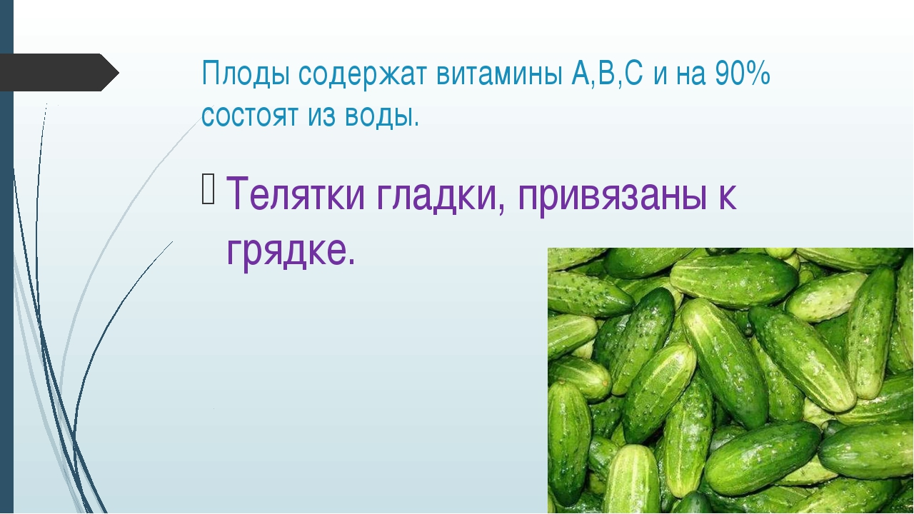 Плоды содержат витамины А,В,С и на 90% состоят из воды. Телятки гладки, привя...