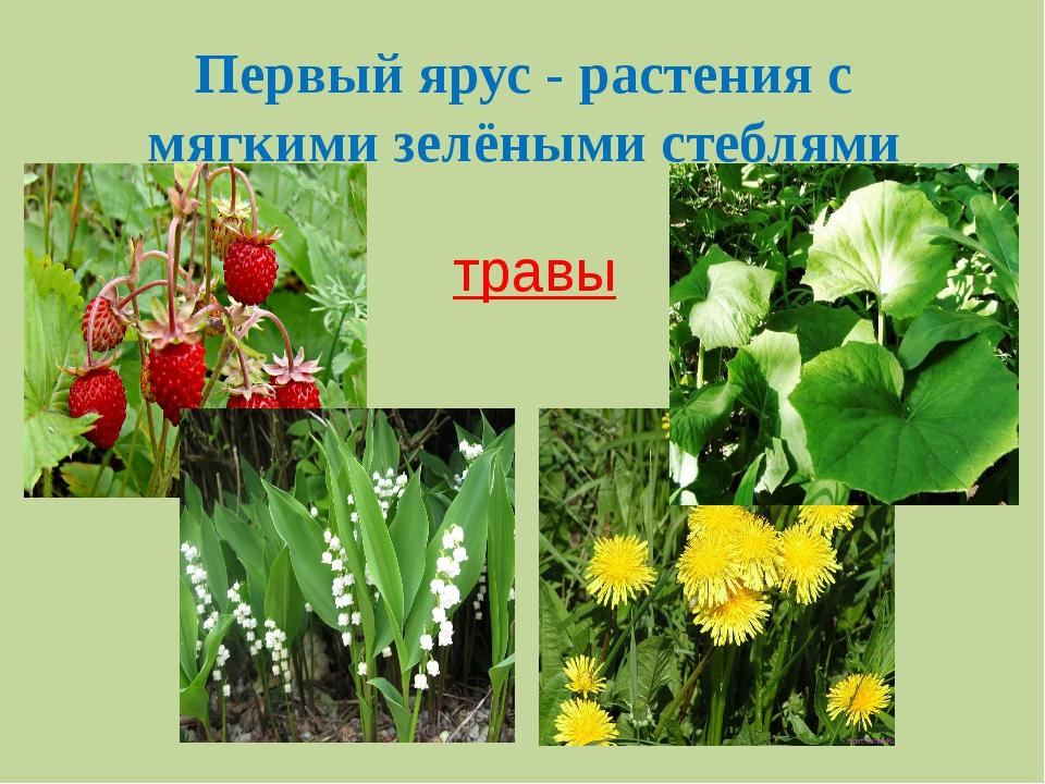 Первый ярус - растения с мягкими зелёными стеблями травы