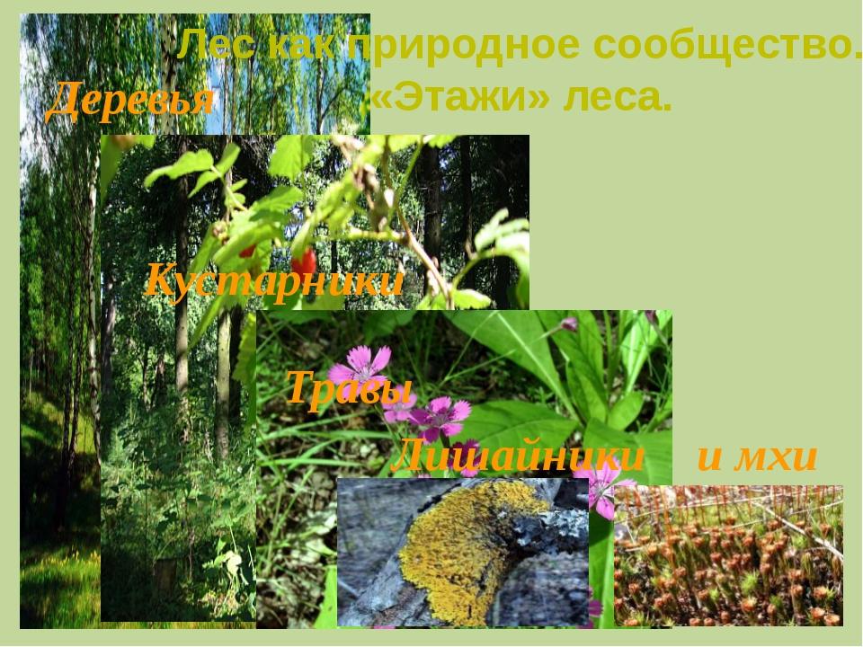 Кустарники Деревья Травы Лес как природное сообщество. «Этажи» леса. Лишайни...