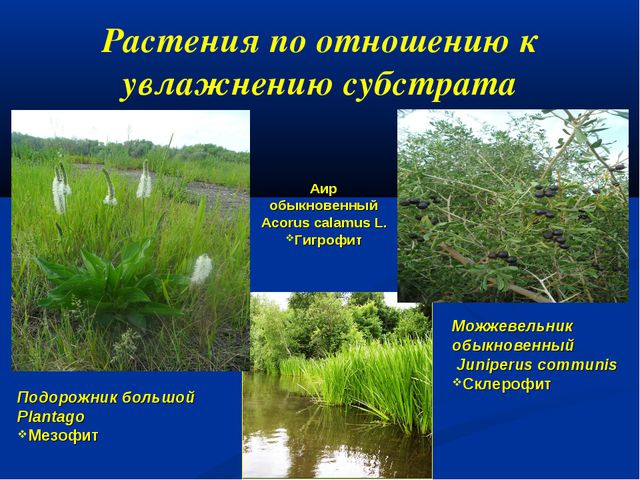 Растения по отношению к увлажнению субстрата Аир обыкновенный Acorus calamus...