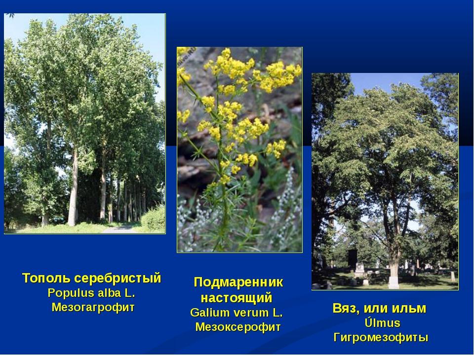 Вяз, или ильм Úlmus Гигромезофиты Тополь серебристый Populus alba L. Мезогагр...