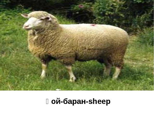 қой-баран-sheep