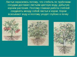 Листья окрасились потому, что стебель по трубочкам-сосудам доставил листьям ц