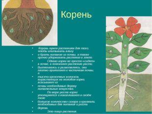 Корень Корень нужен растениям для того, чтобы впитывать влагу и брать питание