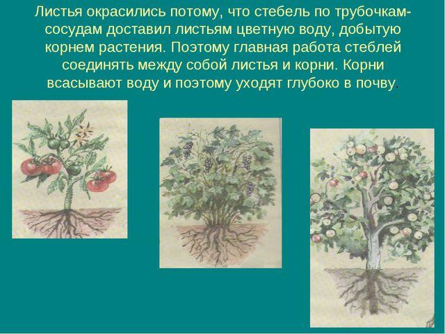 Листья окрасились потому, что стебель по трубочкам-сосудам доставил листьям ц...