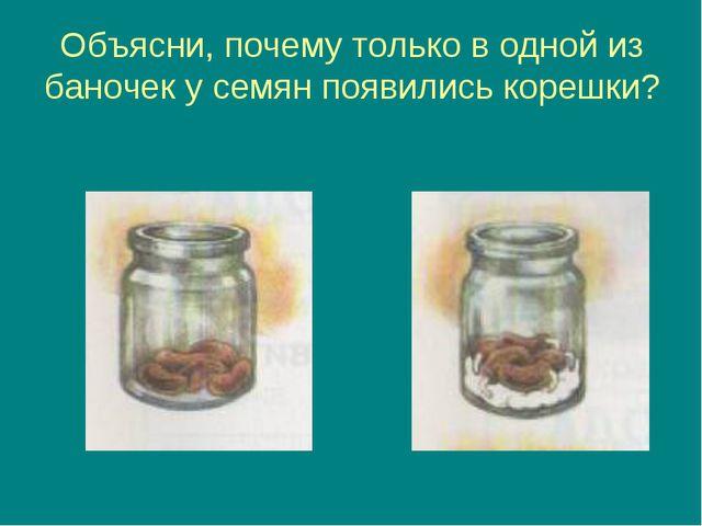 Объясни, почему только в одной из баночек у семян появились корешки?