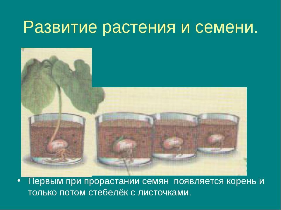 Развитие растения и семени. Первым при прорастании семян появляется корень и...