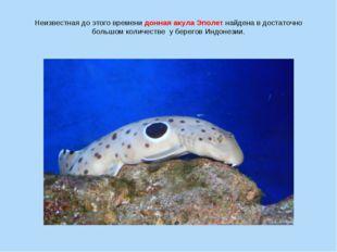 Неизвестная до этого времени донная акула Эполет найдена в достаточно большом
