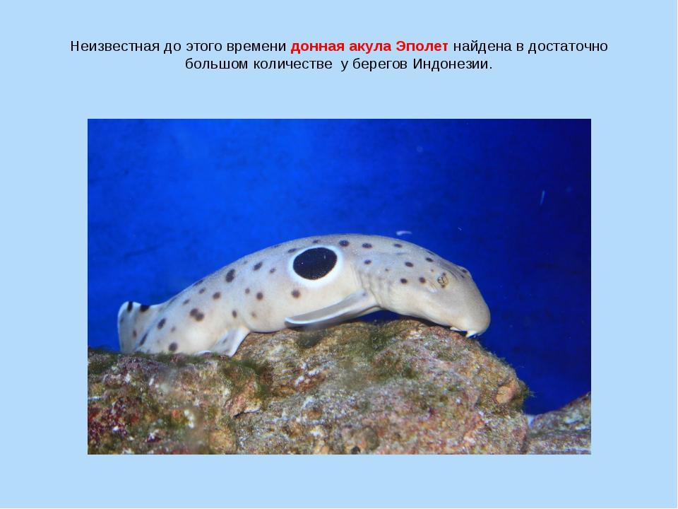 Неизвестная до этого времени донная акула Эполет найдена в достаточно большом...