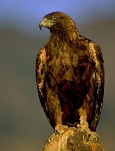 C:\Documents and Settings\Администратор\Рабочий стол\golden_eagle_lg.jpg