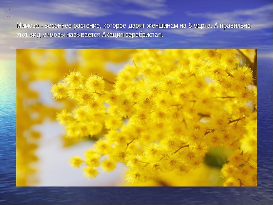 Мимоза - весеннее растение, которое дарят женщинам на 8 марта. А правильно эт...
