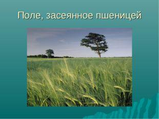 Поле, засеянное пшеницей