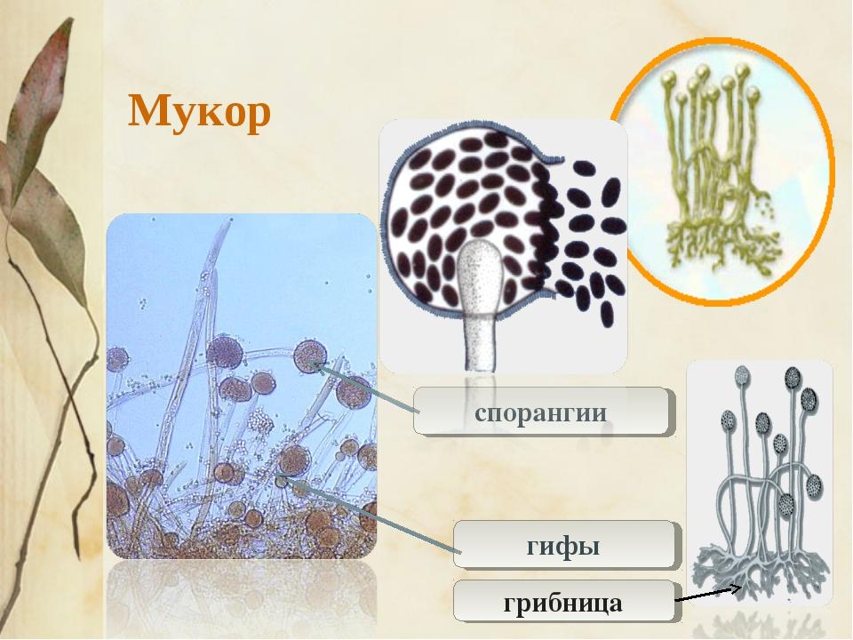 спорангии гифы Мукор грибница