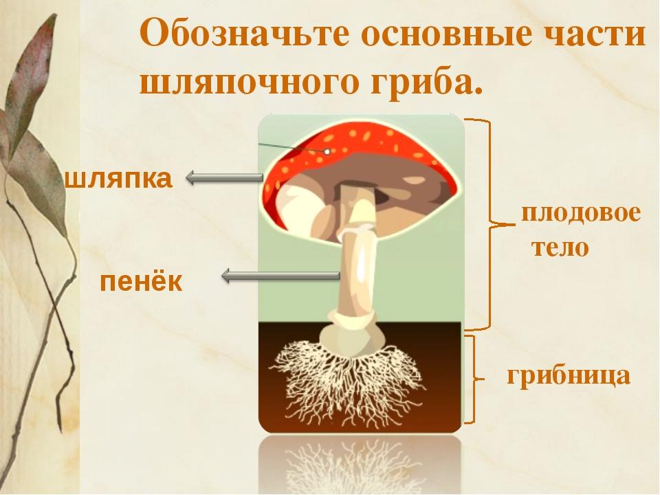 Обозначьте основные части шляпочного гриба. плодовое тело грибница шляпка пенёк