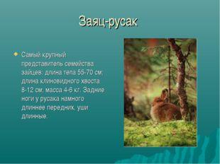 Заяц-русак Самый крупный представитель семейства зайцев: длина тела 55-70 см;
