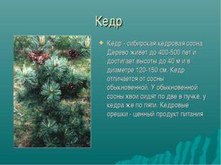 Кедр Кедр - сибирская кедровая сосна. Дерево живет до 400-500 лет и достигает