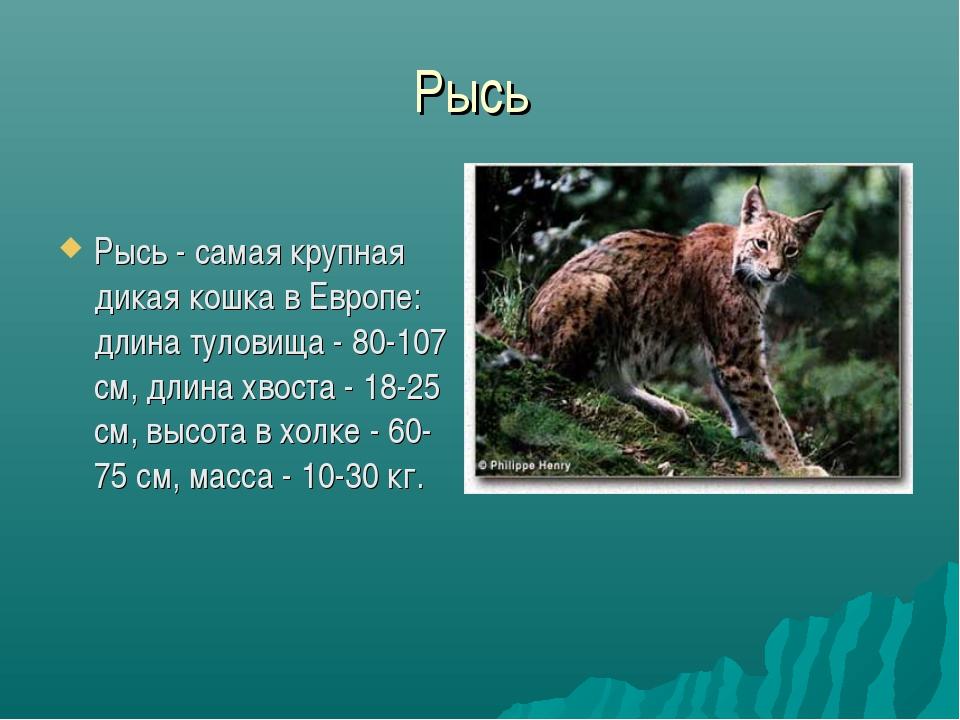 Рысь Рысь - самая крупная дикая кошка в Европе: длина туловища - 80-107 см, д...