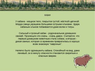 КАБАН У кабана - мощное тело, покрытое густой, жёсткой щетиной. Морда самца