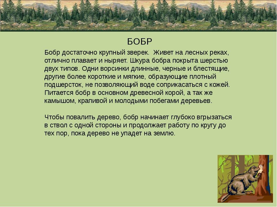 БОБР Бобр достаточно крупный зверек. Живет на лесных реках, отлично плавает...