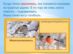 Когда птички нахохлились, они становятся похожими на пушистые шарики. В эту п