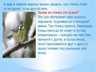 А еще в зимние морозы можно увидеть, как птичка стоит то на одной, то на друг