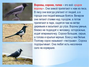 Вороны, сороки, галки – это всё «родня вороны». Они зимой прилетают к нам из