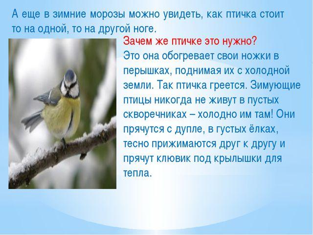 А еще в зимние морозы можно увидеть, как птичка стоит то на одной, то на друг...