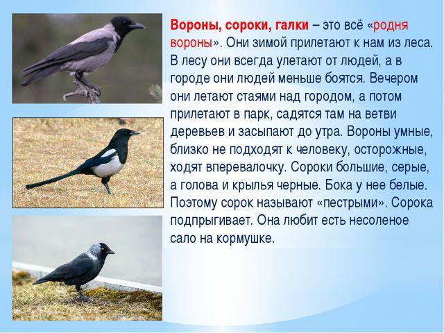 Вороны, сороки, галки – это всё «родня вороны». Они зимой прилетают к нам из...