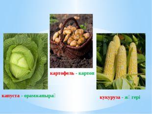 капуста - орамжапырақ картофель - картоп кукуруза - жүгері