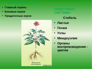 Романова О.М. КОРНЕВАЯ СИСТЕМА Главный корень Боковые корни Придаточные корни