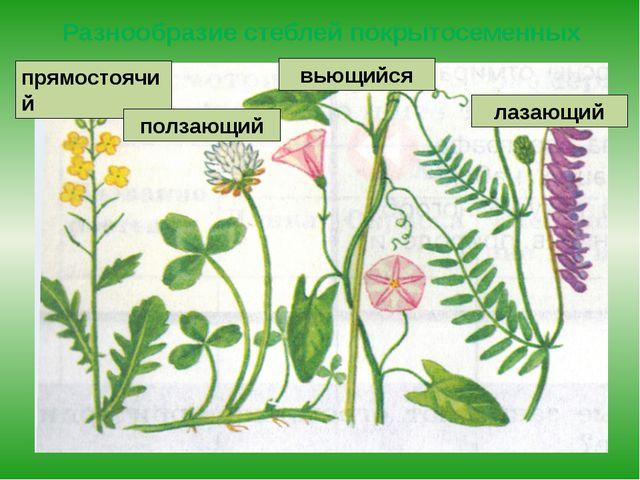 Разнообразие стеблей покрытосеменных прямостоячий ползающий вьющийся лазающий