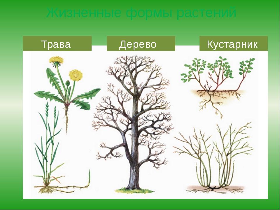 Жизненные формы растений Трава Дерево Кустарник