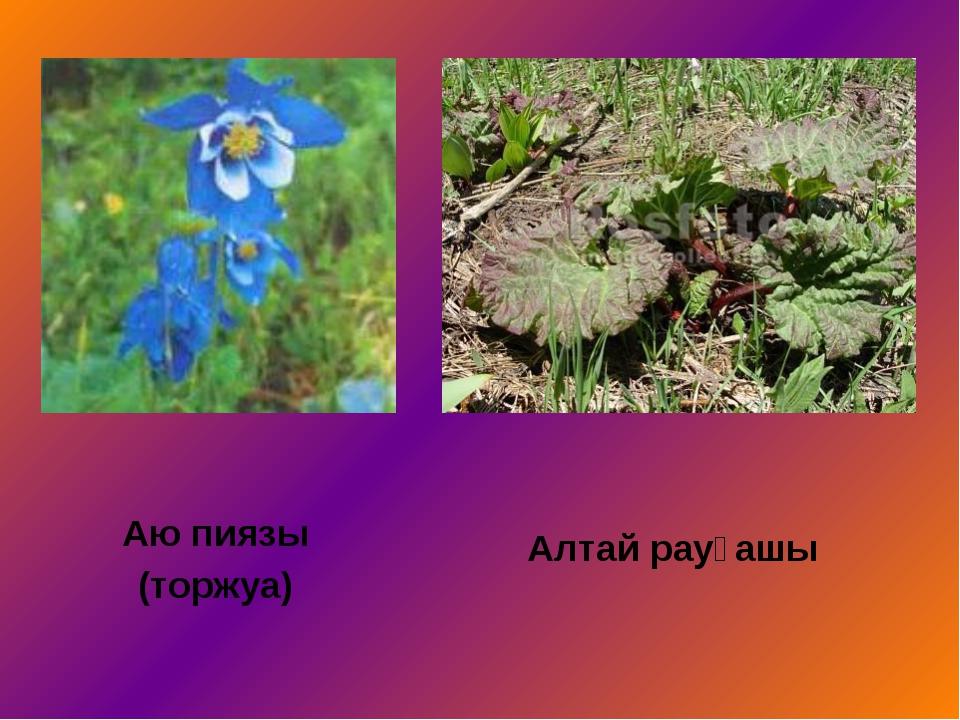 Аю пиязы (торжуа) Алтай рауғашы
