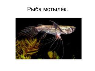 Рыба мотылёк.