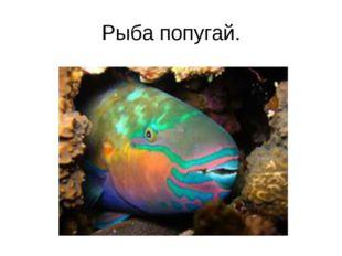 Рыба попугай.