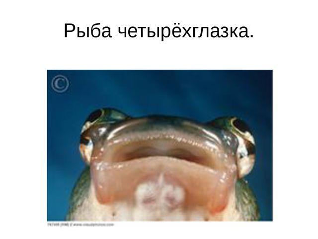 Рыба четырёхглазка.