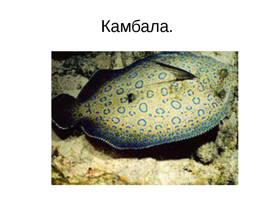 Камбала.