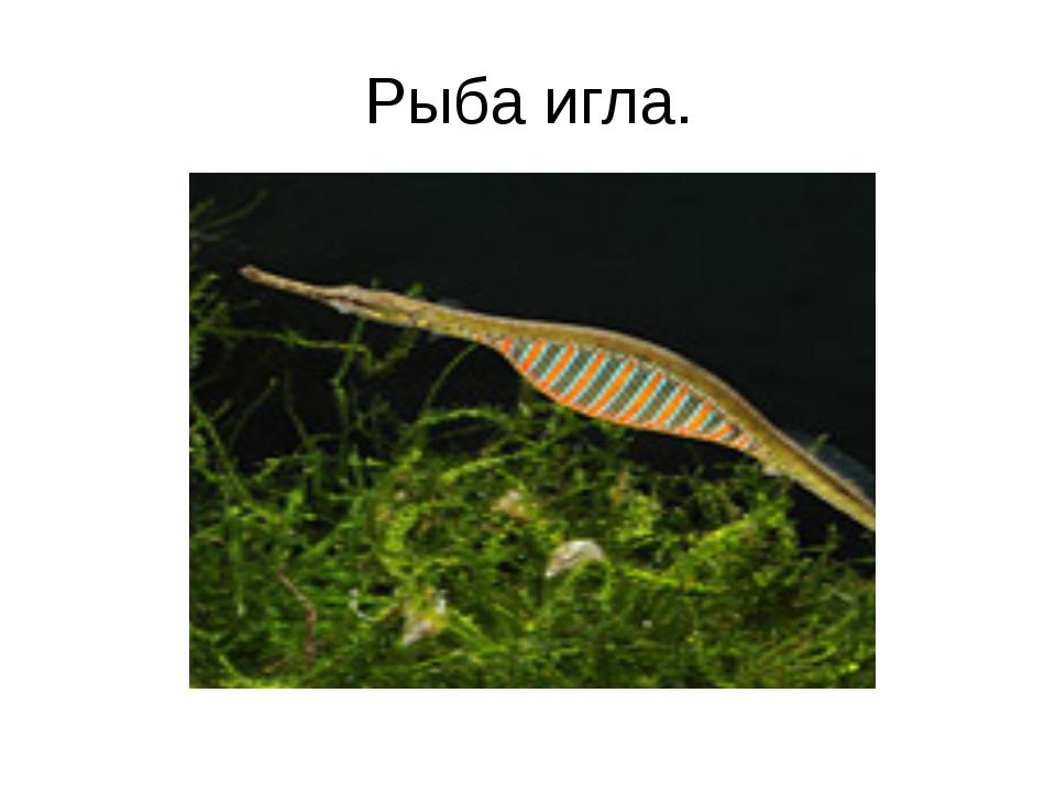 Рыба игла.