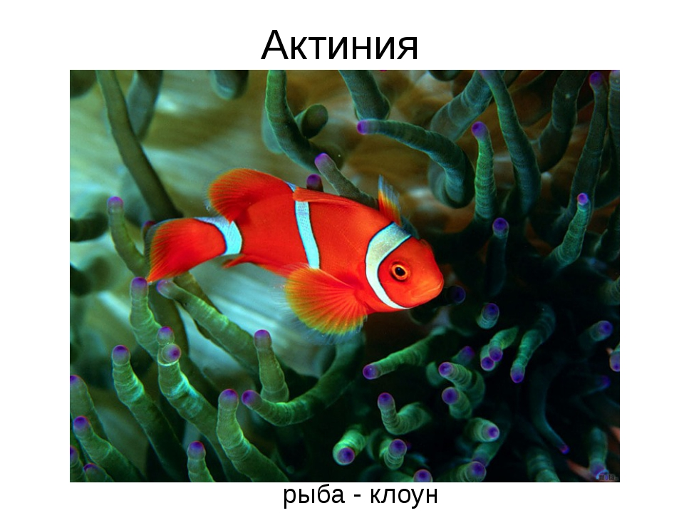рыба - клоун Актиния