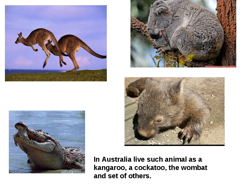 In Australia live such animal as a kangaroo, a cockatoo, the wombat and set o...