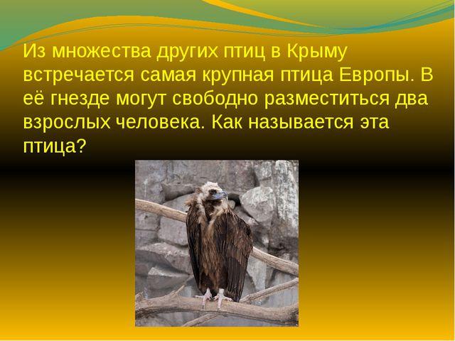 Из множества других птиц в Крыму встречается самая крупная птица Европы. В её...