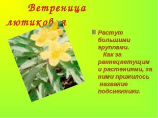 Ветреница лютиковая Растут большими группами. Как за раннецветущими растения