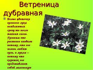 Ветреница дубравная Белые цветочки гусиного лука появляются сразу же после т