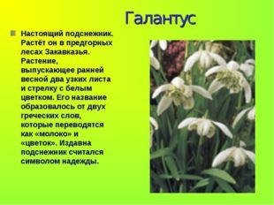 Галантус Настоящий подснежник. Растёт он в предгорных лесах Закавказья. Раст