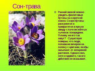 Сон-трава Ранней весной можно увидеть фиолетовые бутоны на короткой ножке. С