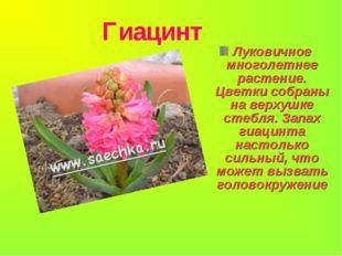 Гиацинт Луковичное многолетнее растение. Цветки собраны на верхушке стебля.