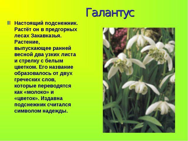 Галантус Настоящий подснежник. Растёт он в предгорных лесах Закавказья. Раст...