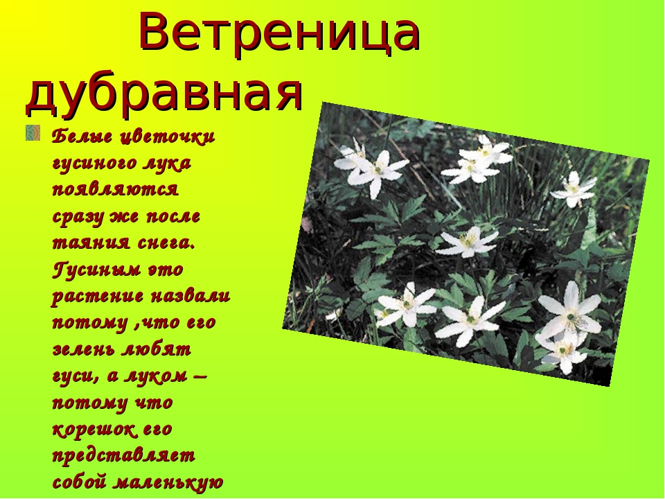 Ветреница дубравная Белые цветочки гусиного лука появляются сразу же после т...