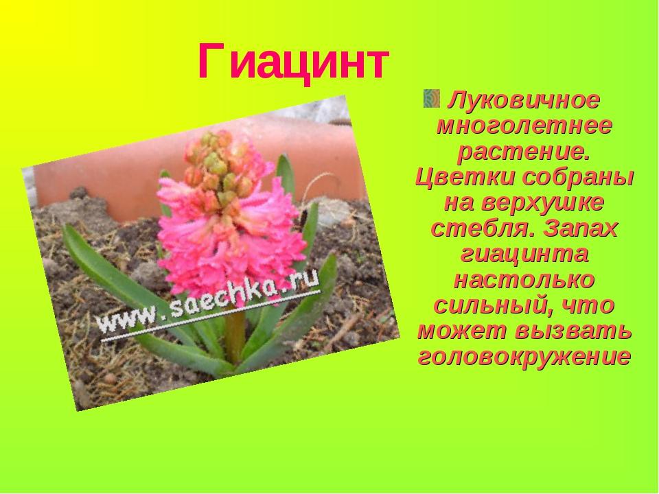 Гиацинт Луковичное многолетнее растение. Цветки собраны на верхушке стебля....